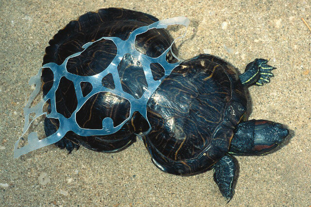 A turtle deformed by a six-pack ring - Seas & Straws