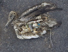 Albatross chick with a stomach full of plastic