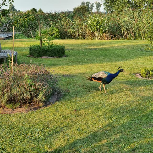 The beautiful peacock woke us every morning. Photo: ©Seas & Straws