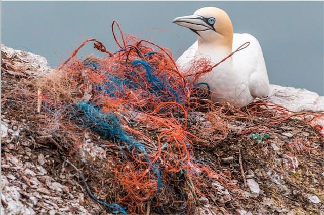Seabird nesting on plastic rope. Seas & Straws